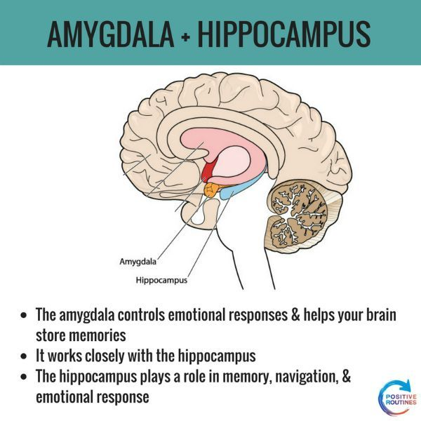 Function of the amygdala and hippocampus